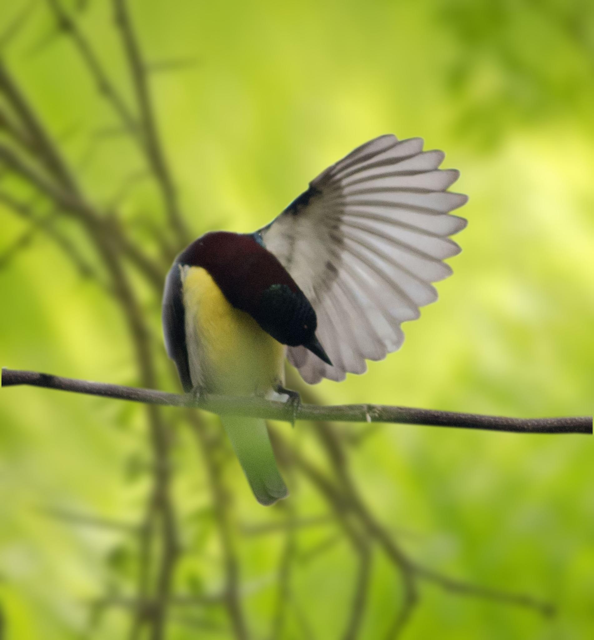 Photo in Nature #sunbird #bird #india