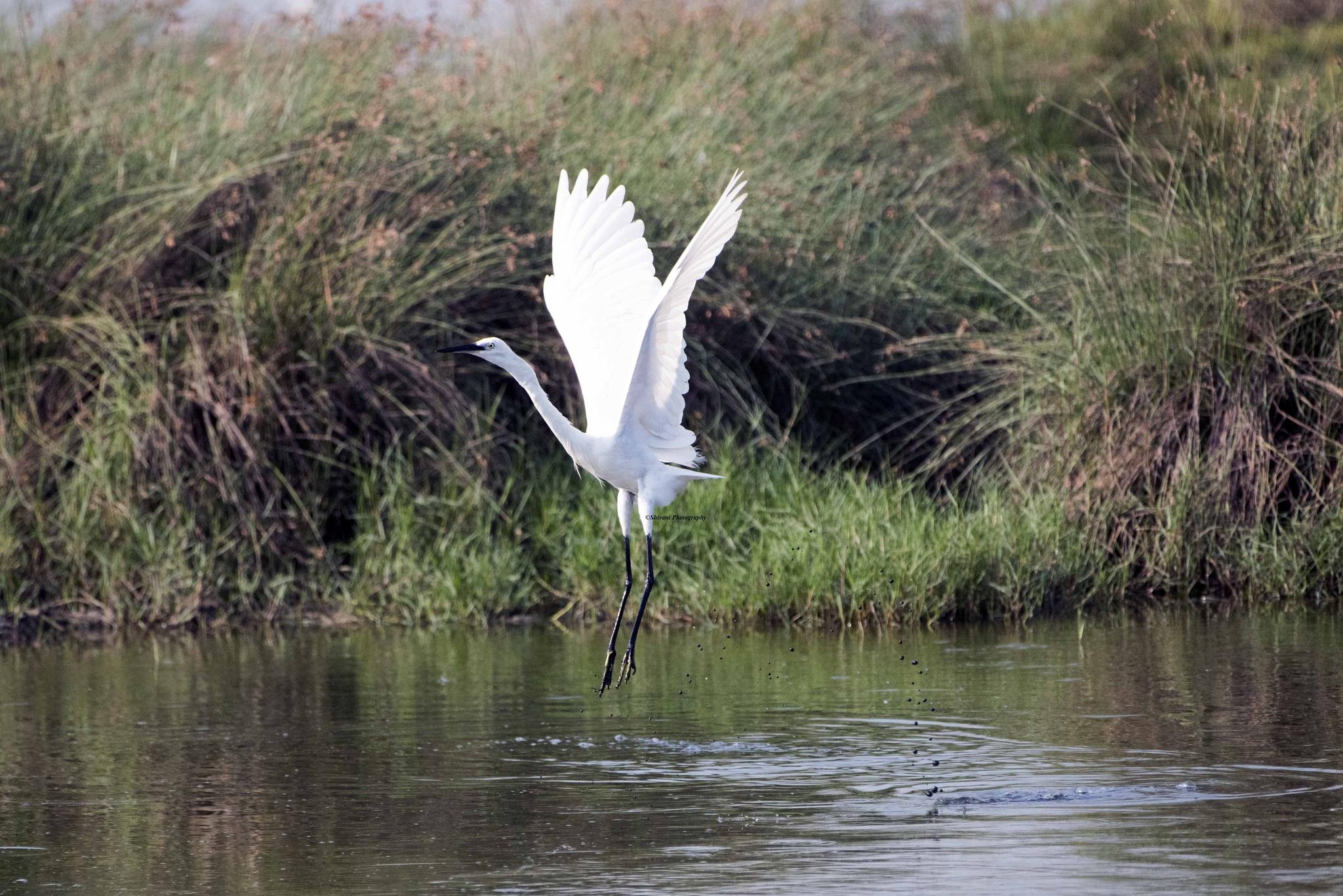 Egret landing in water by Srinivasan Krishnamurthi