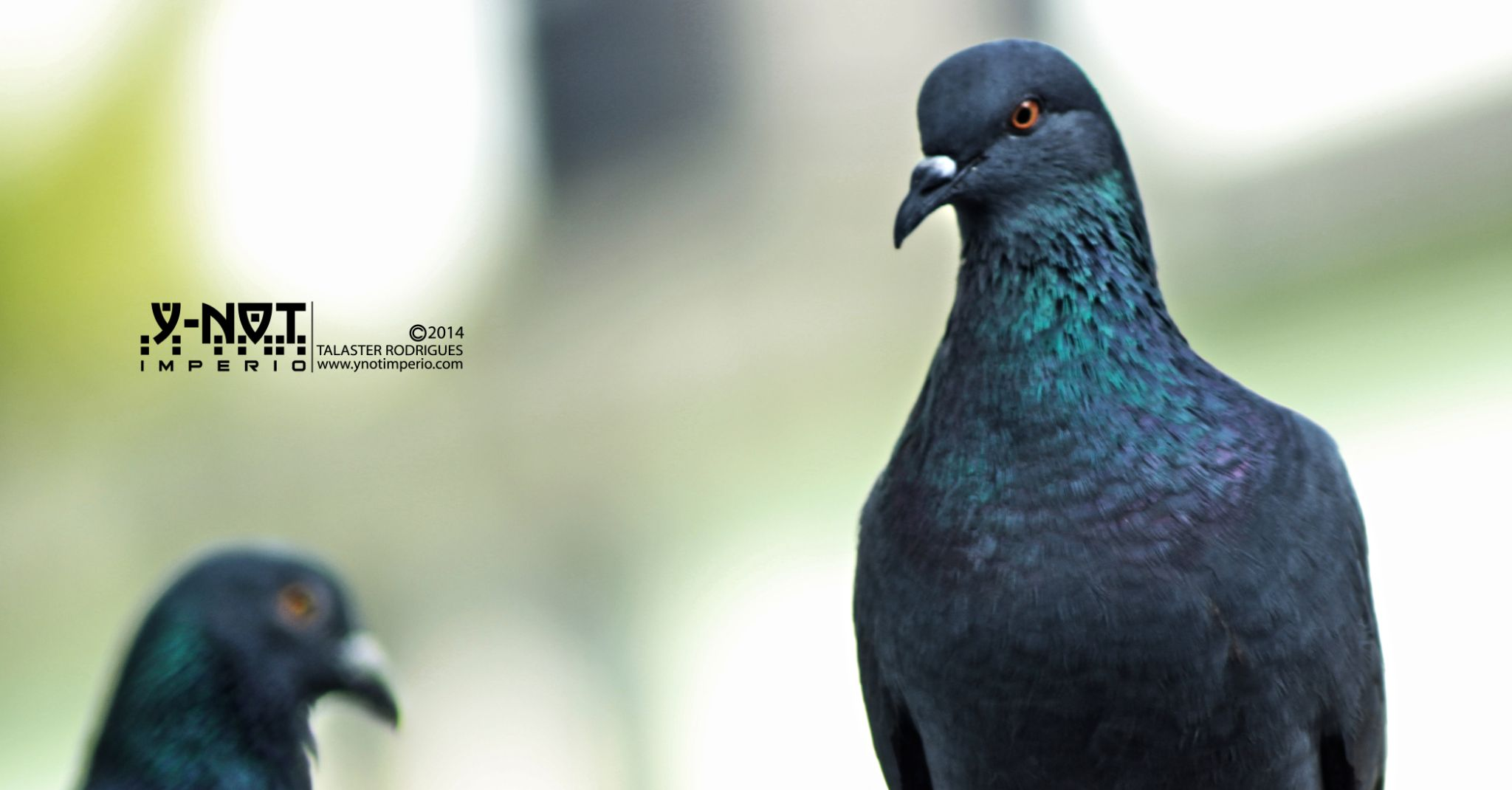 Domestic pigeon by Talaster Rodrigues
