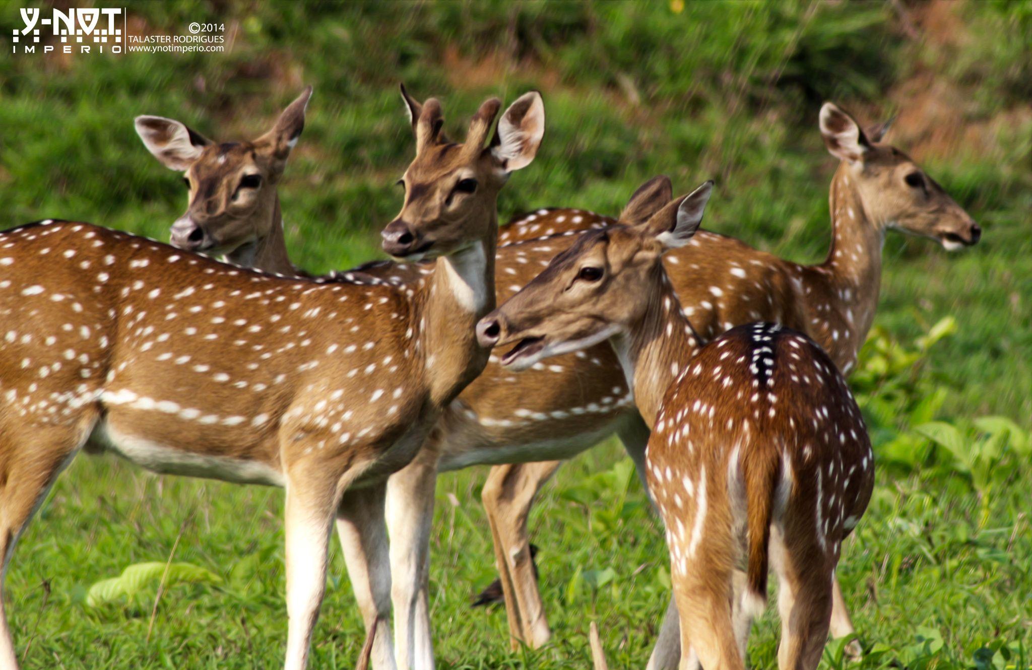 Deer by Talaster Rodrigues