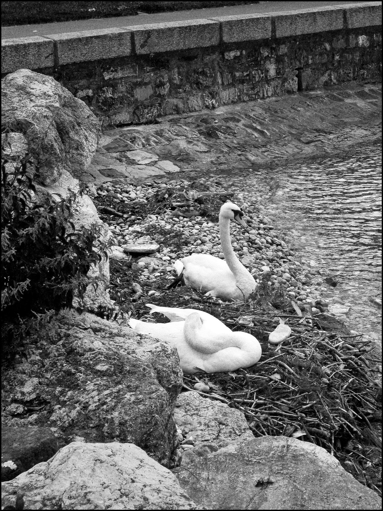 Swans, Lake of Geneva by Roderic Beyeler