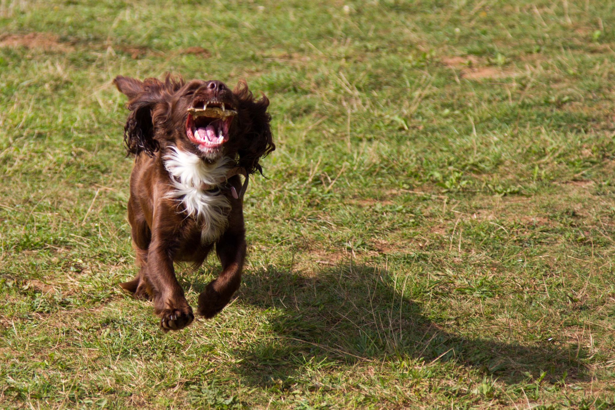 Cocker Spaniel in Action by Mike Ling