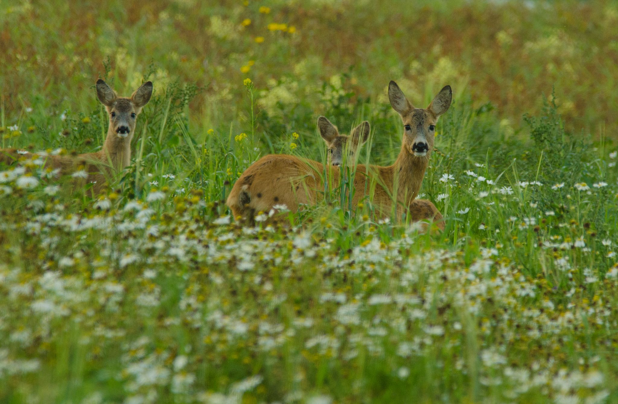 deer mother with two kids by andreas.slattsveen