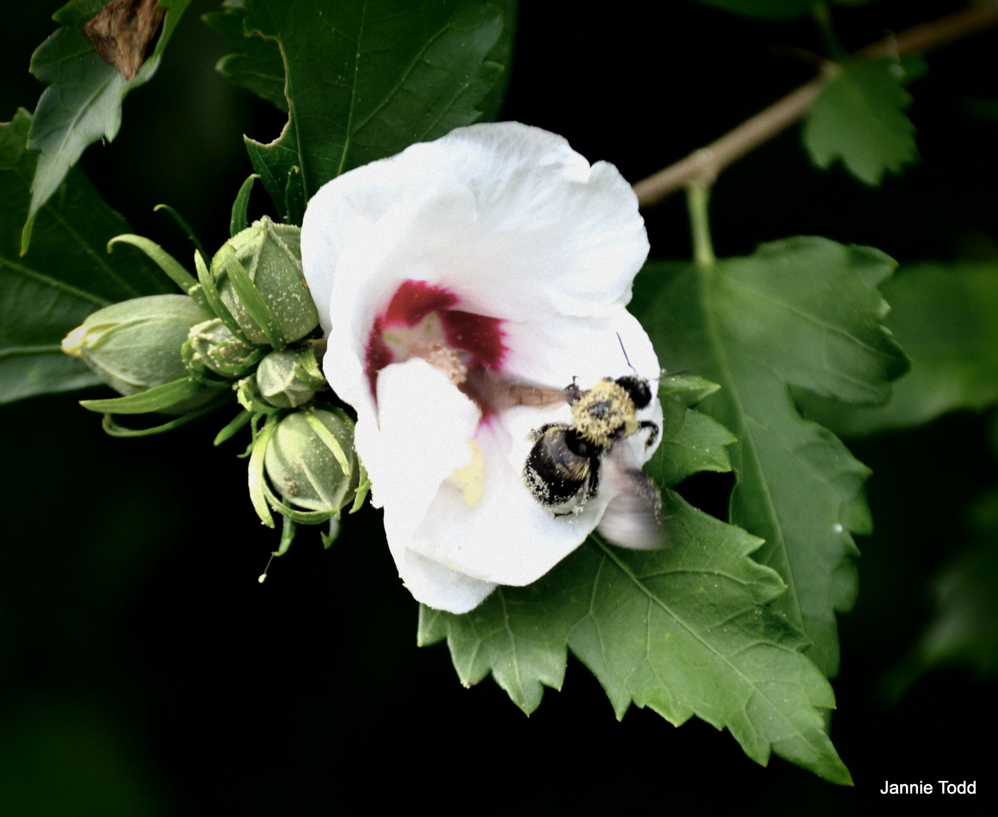Rose of Sharon by jannie.todd
