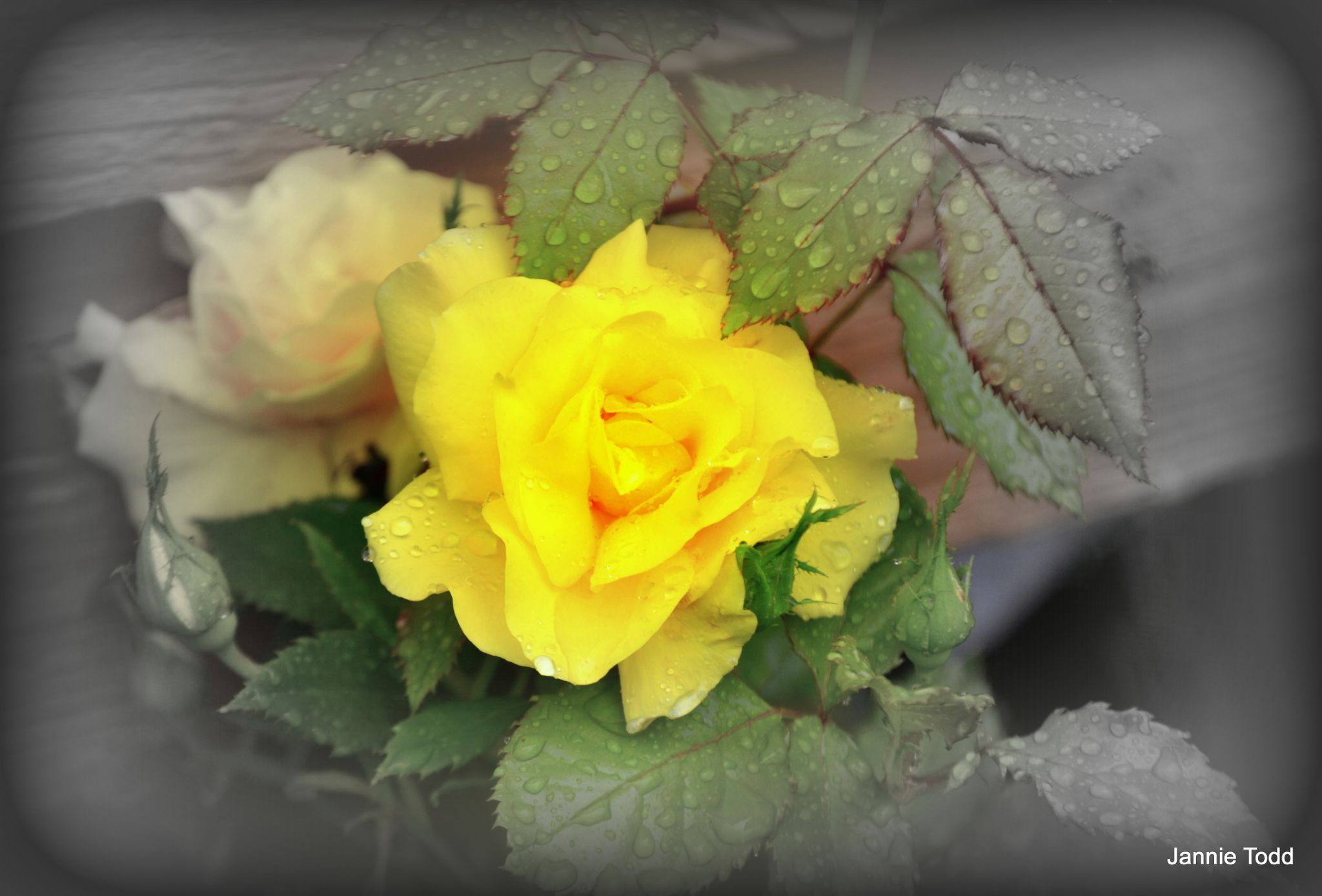 Yellow Rose by jannie.todd