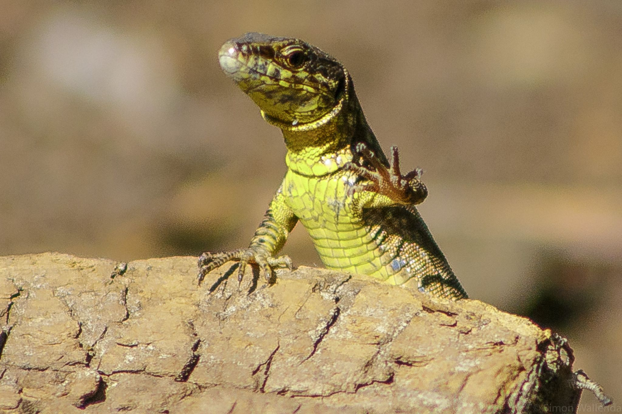 lizard in the sun by simon.wallenda
