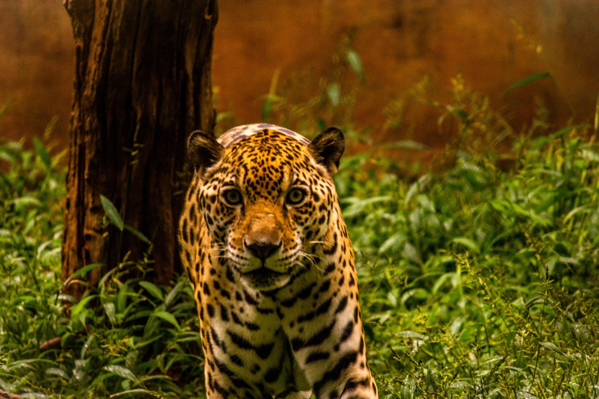Young cub by joyman.xavio