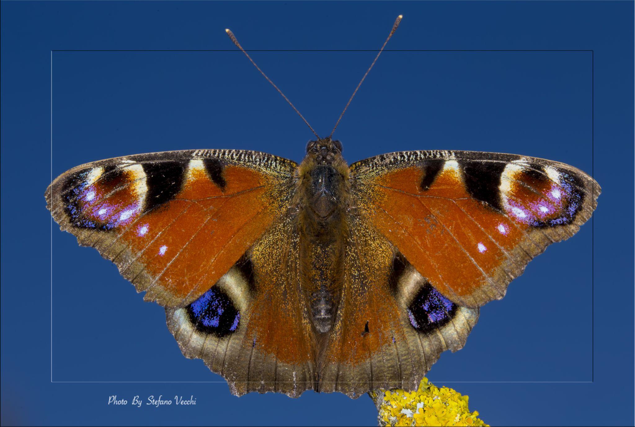 Butterfly by stefano.vecchi.395