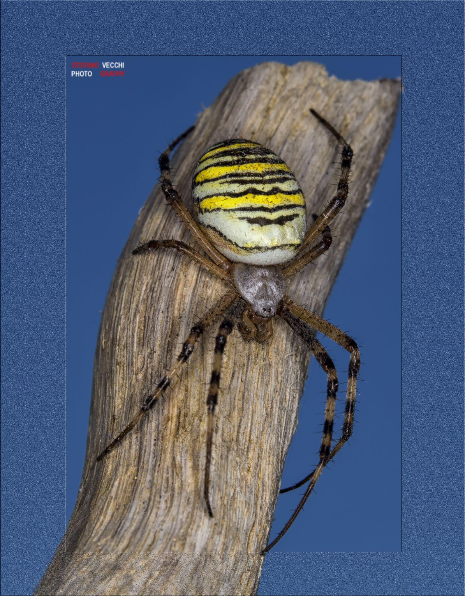 Ragno vespa by stefano.vecchi.395