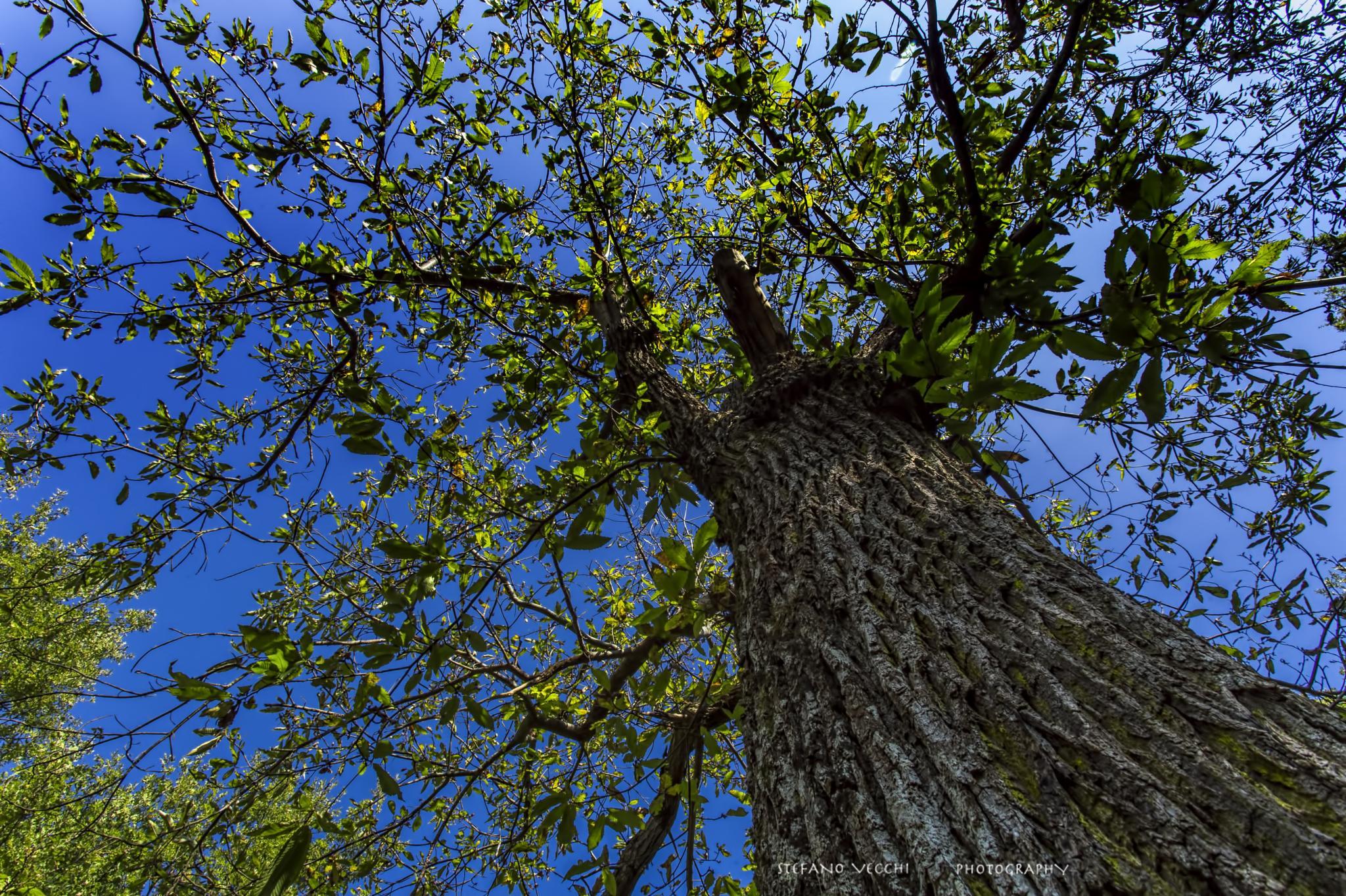 The chestnut tree by stefano.vecchi.395