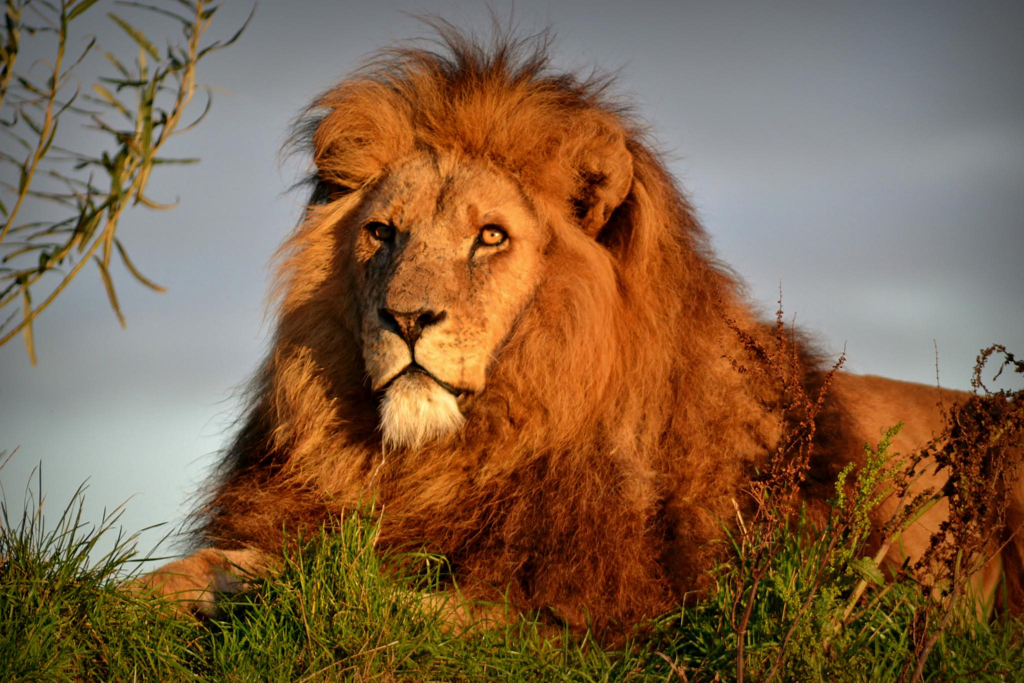 Lion Around by tony.beeby1