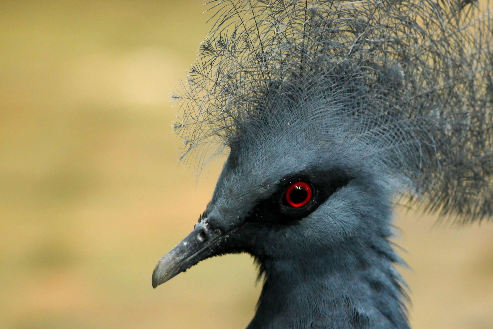 Western crowned Pigeon by boris.smokrovic