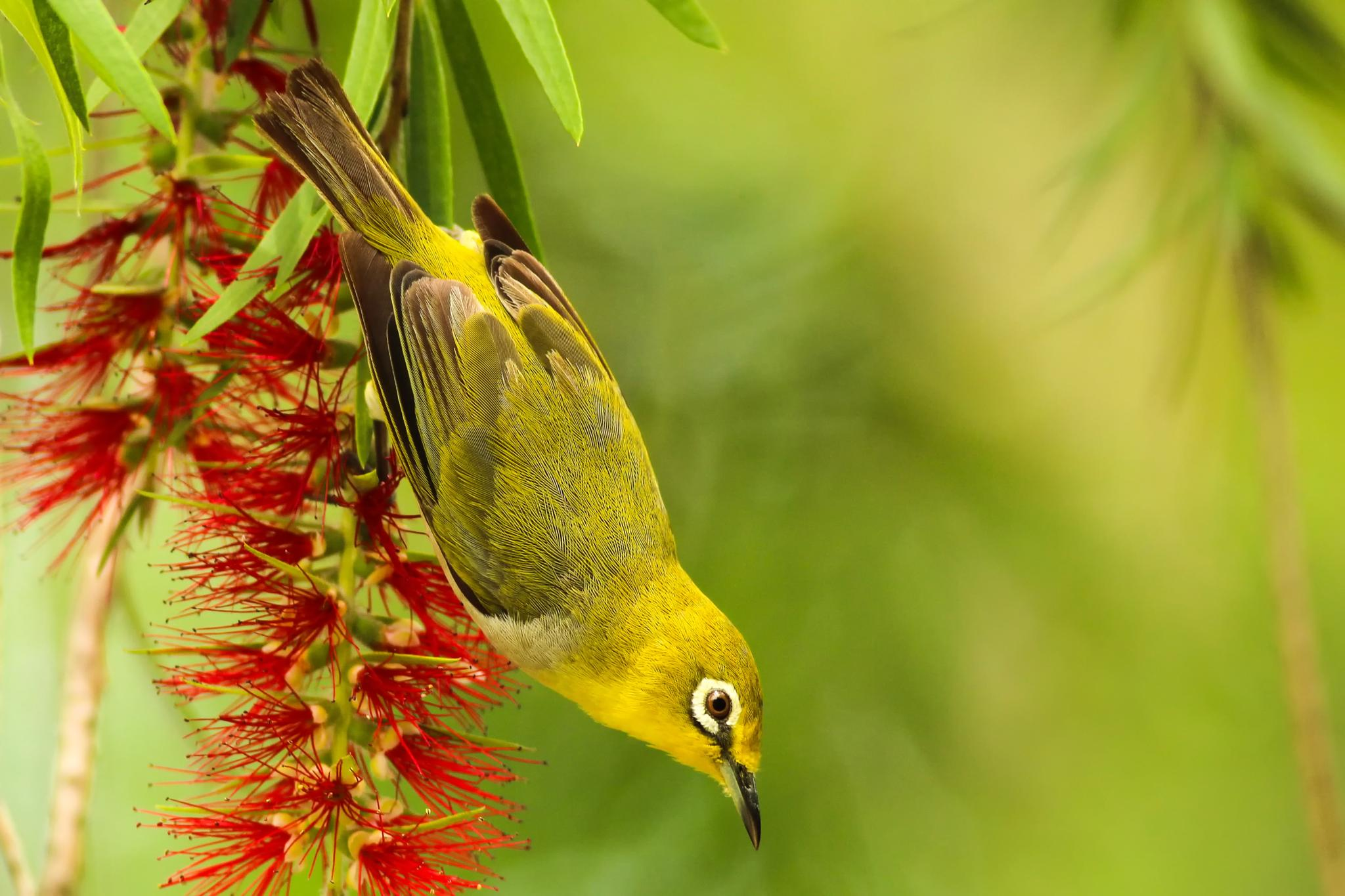Photo in Animal #japanese white-eye #nature #taiwan #bird