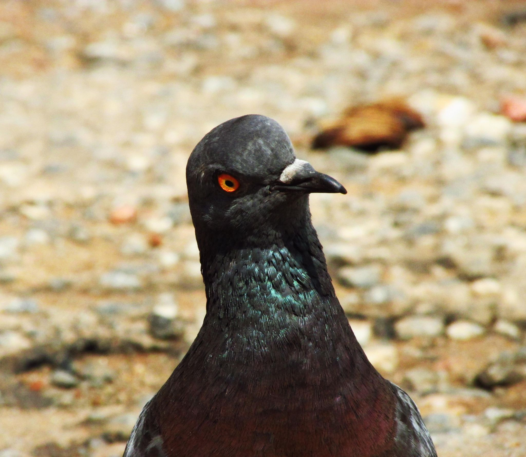 Pigeon by Axelle