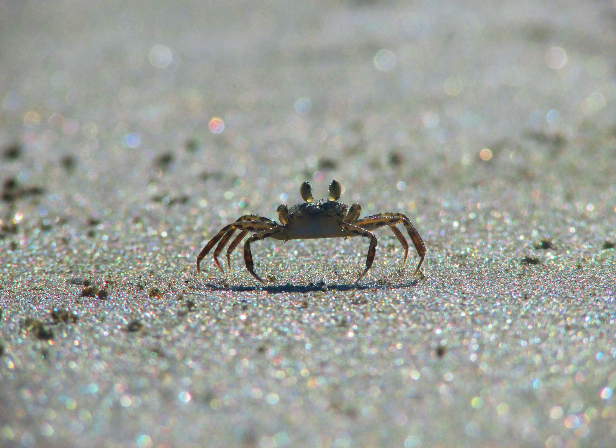 Crab by Axelle