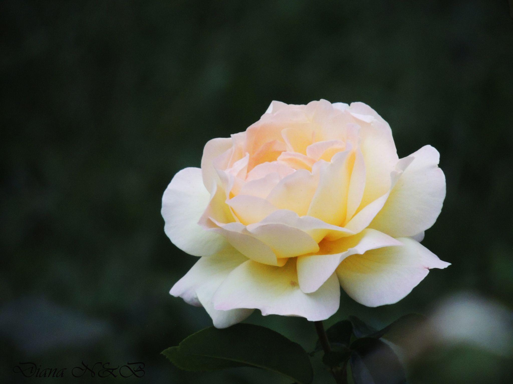 White rose by diana.adamyan.12
