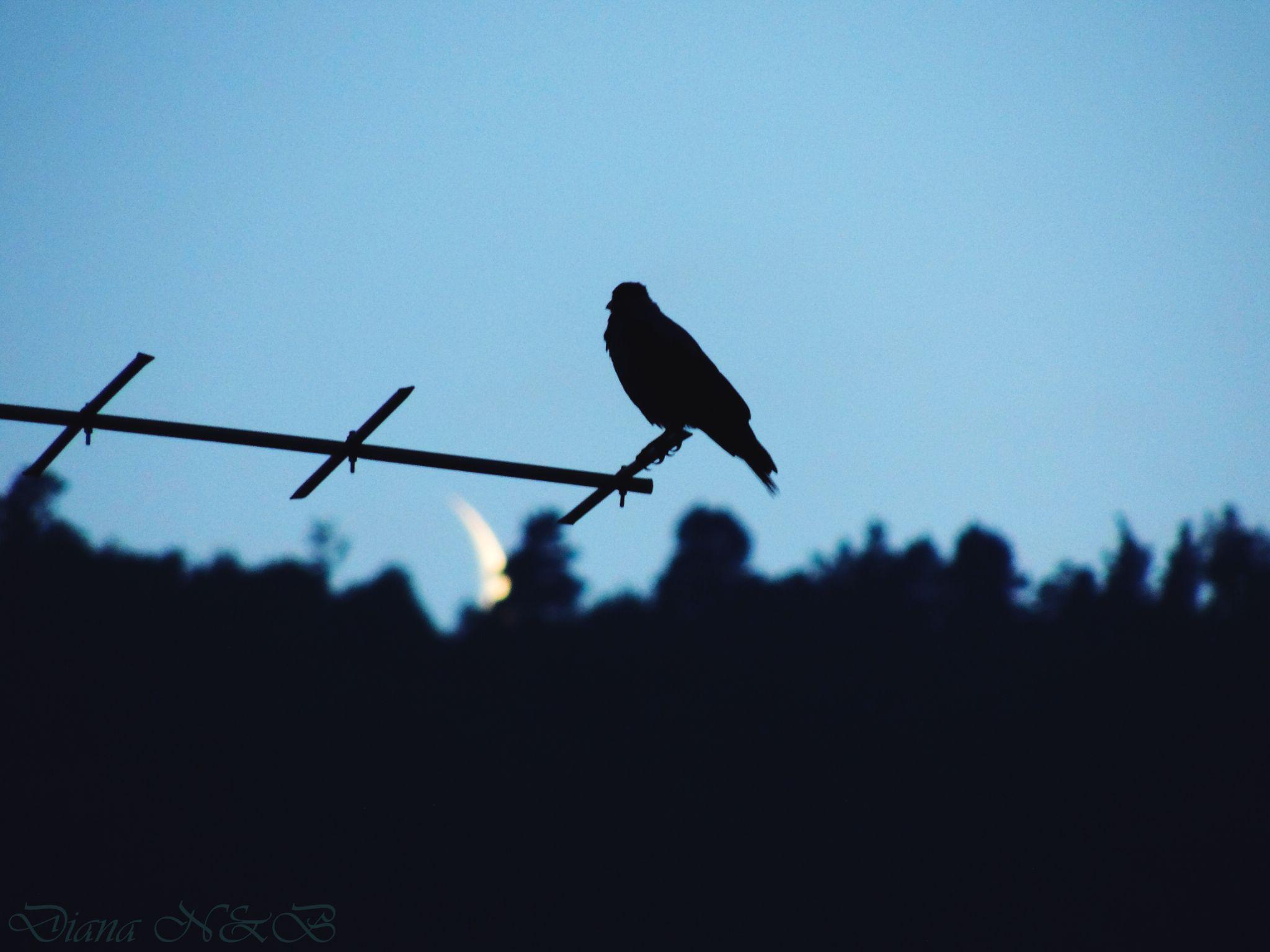 Bird and moon by diana.adamyan.12