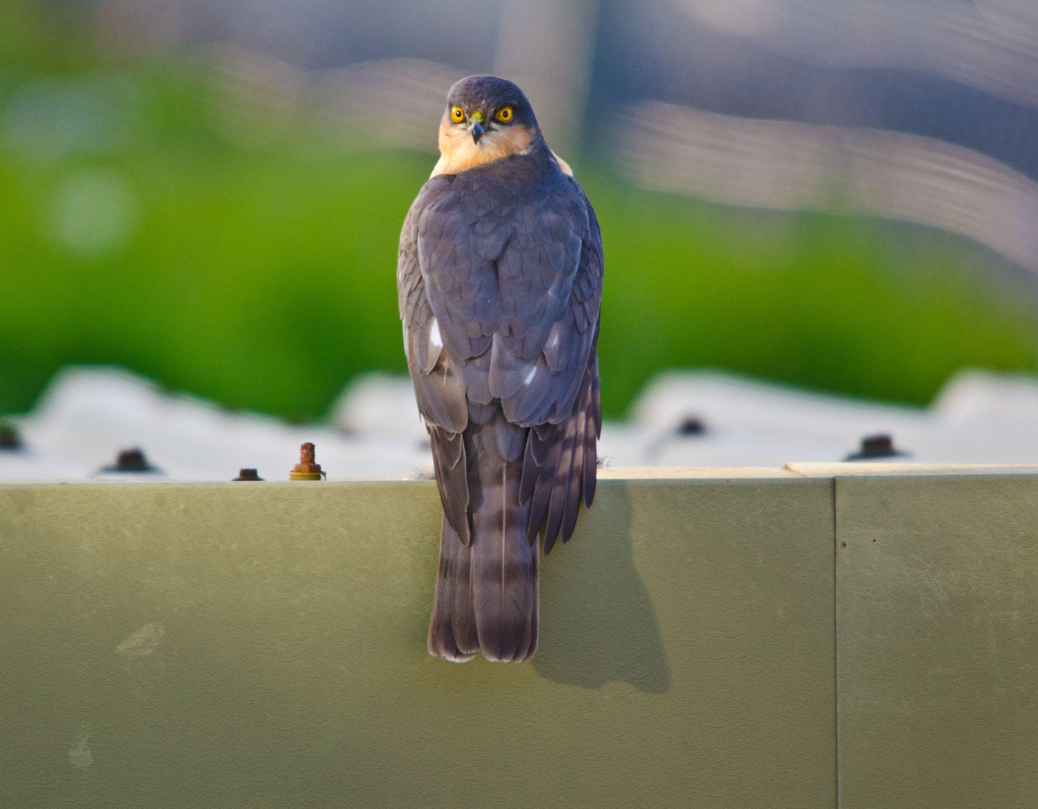 Sparrowhawk surprise  by darron.sandell