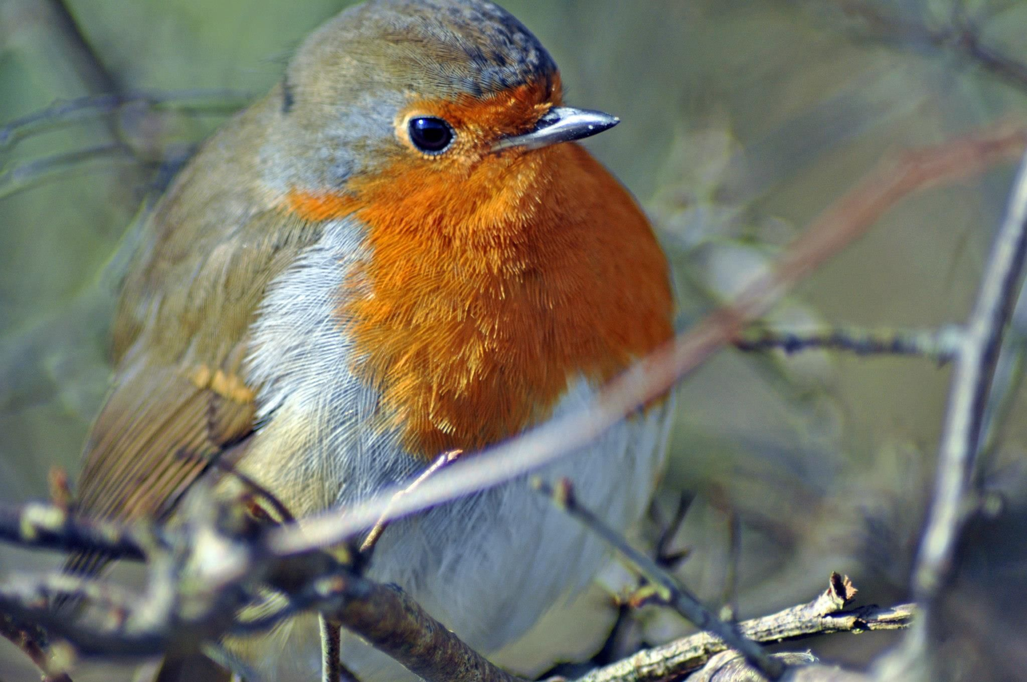 Robin red breast. by darron.sandell