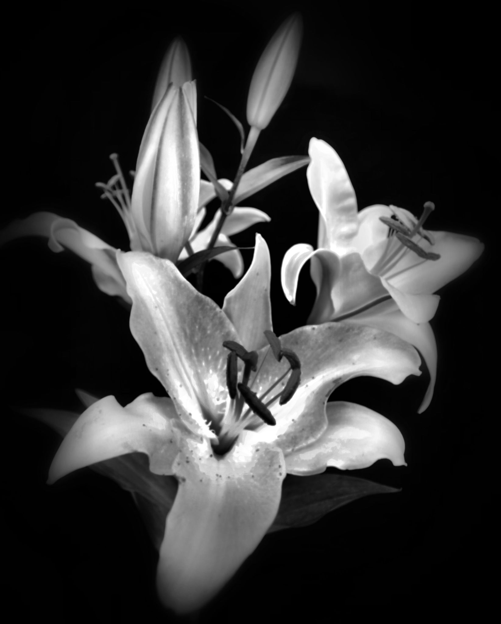 lily black & white by barry.vandelaar