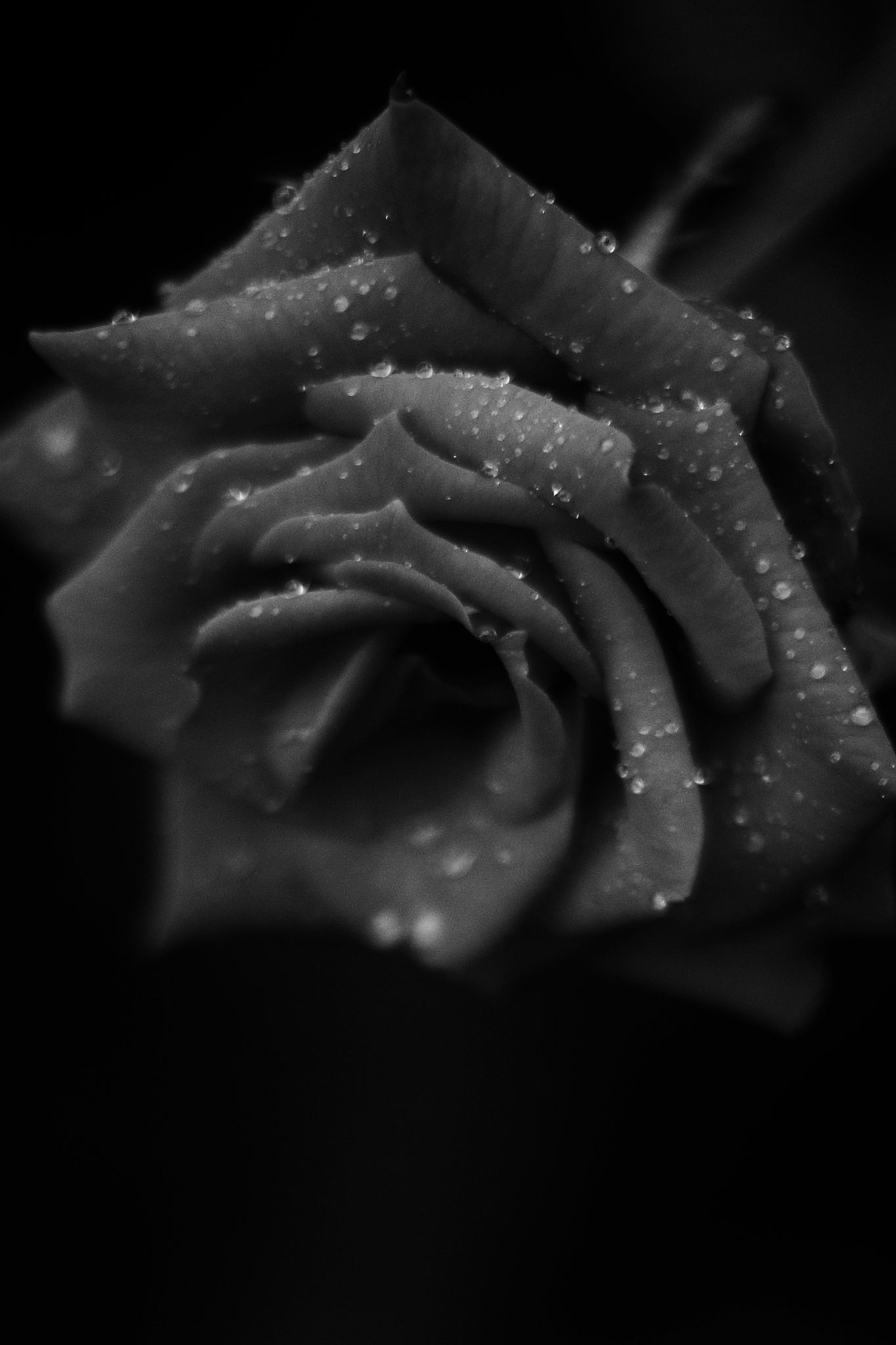 Rose after rain by Koji Ishimoto