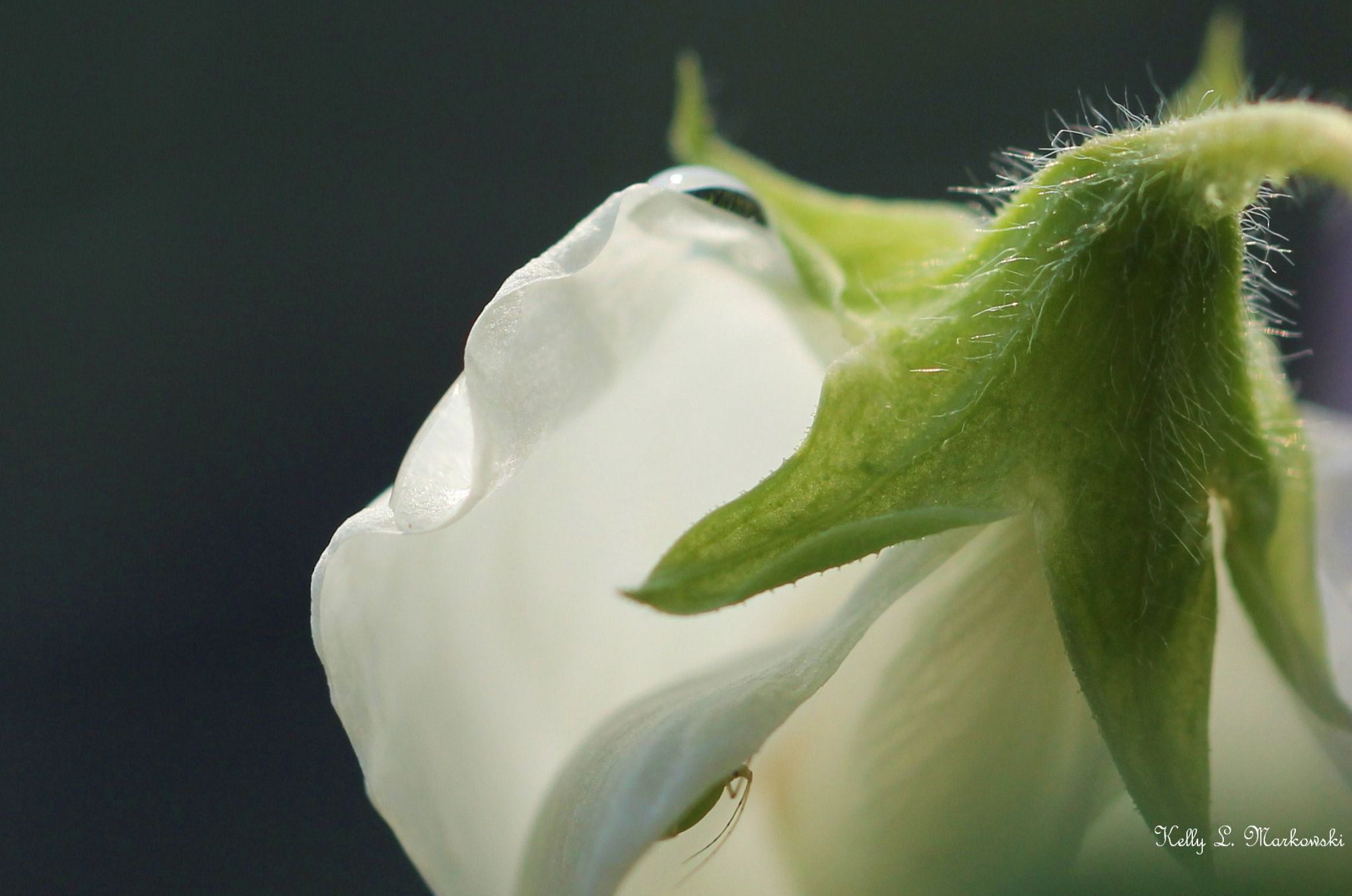 Peeking From Within The Sweet Pea by kelly.markowski.7