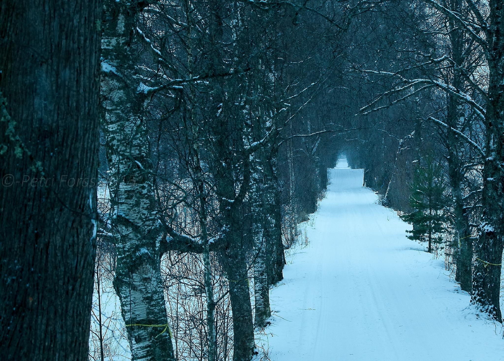Birch alley by Petri Forss