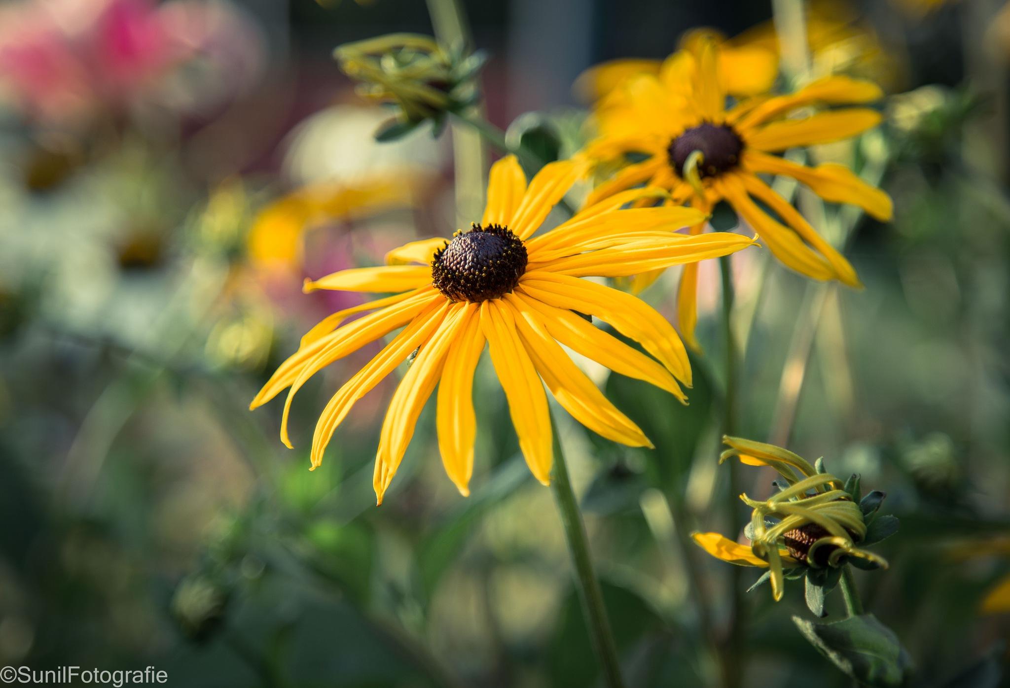 Full Bloom by sunil.purushothaman