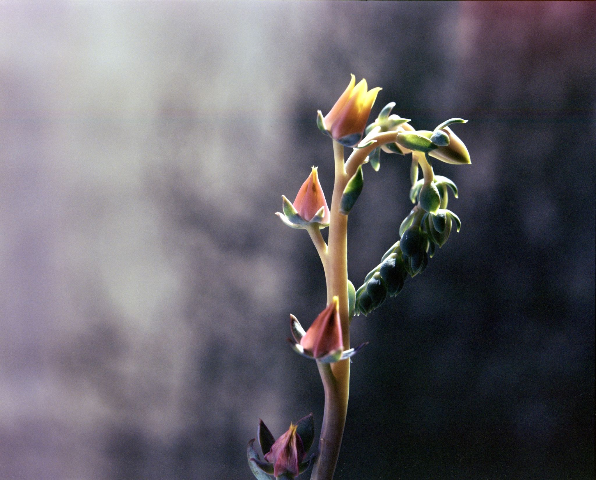 Succulent Flowers by Ludovic Landry