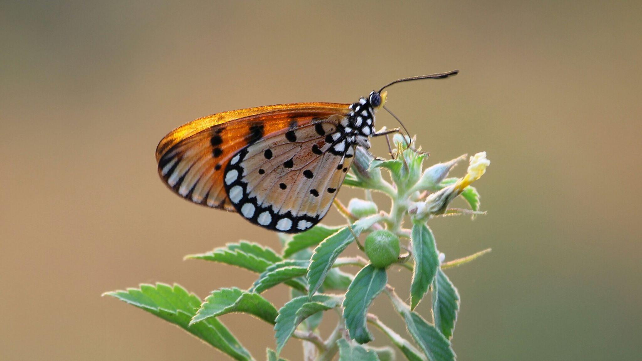 Butterfly orange by Saefull.Regina