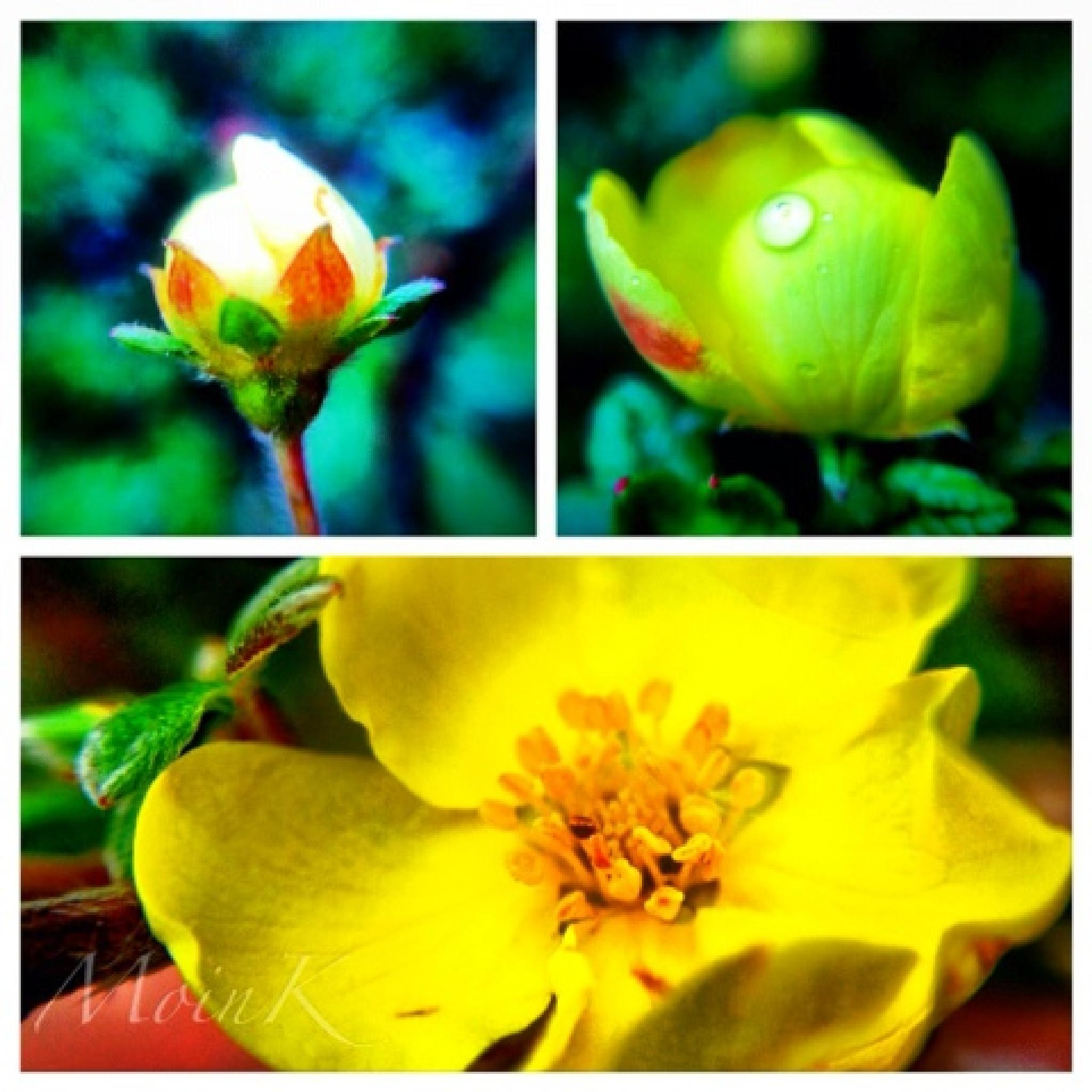 Different stages of a flower blooming by Michelangelo Macanas