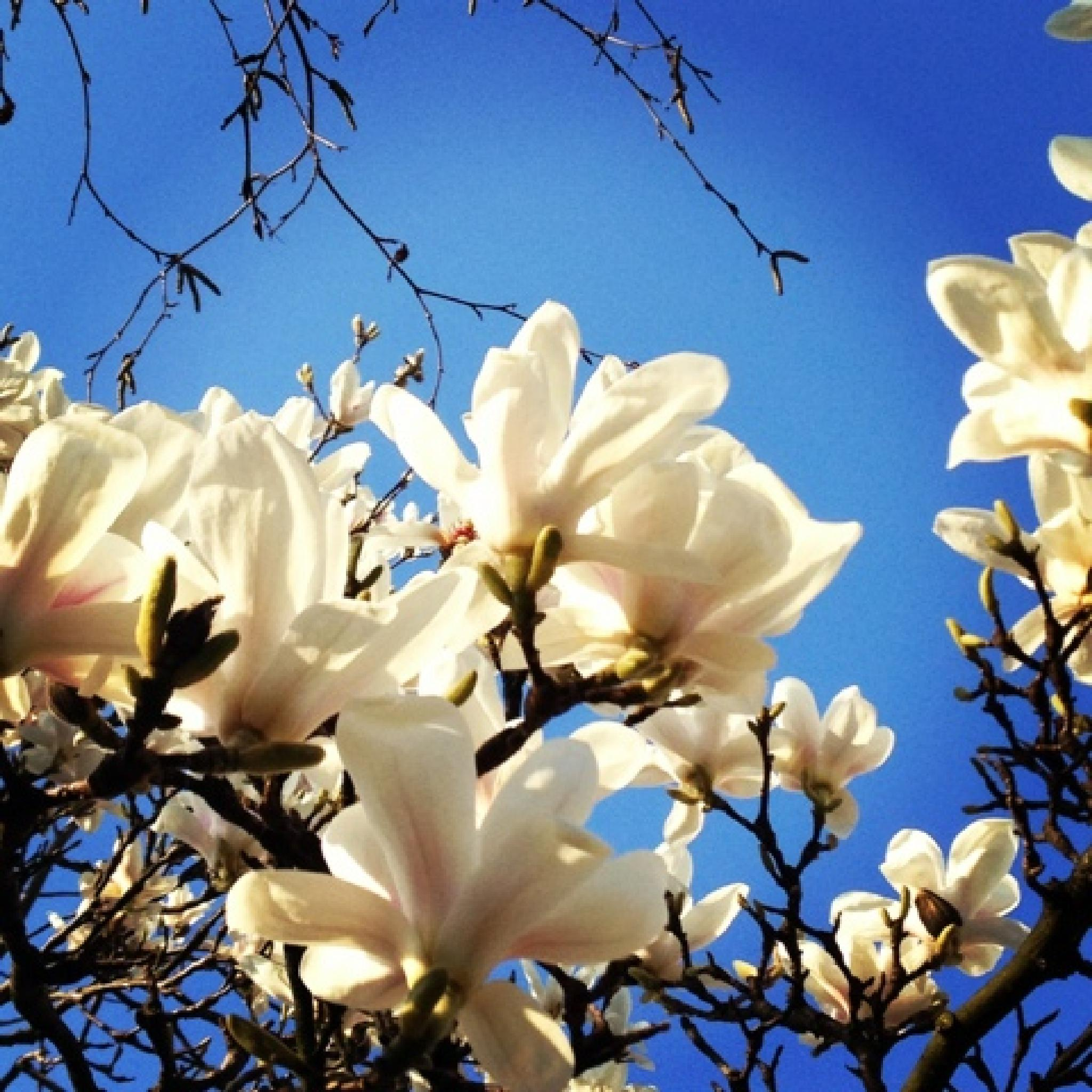 Photo in Nature #white flowers #blue sky #undershot #flowers