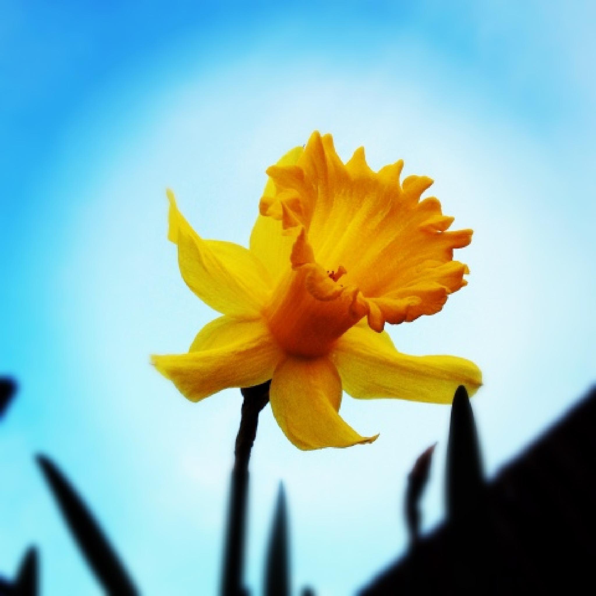 Photo in Nature #daffodil #under shot #undershot #yellow #flower