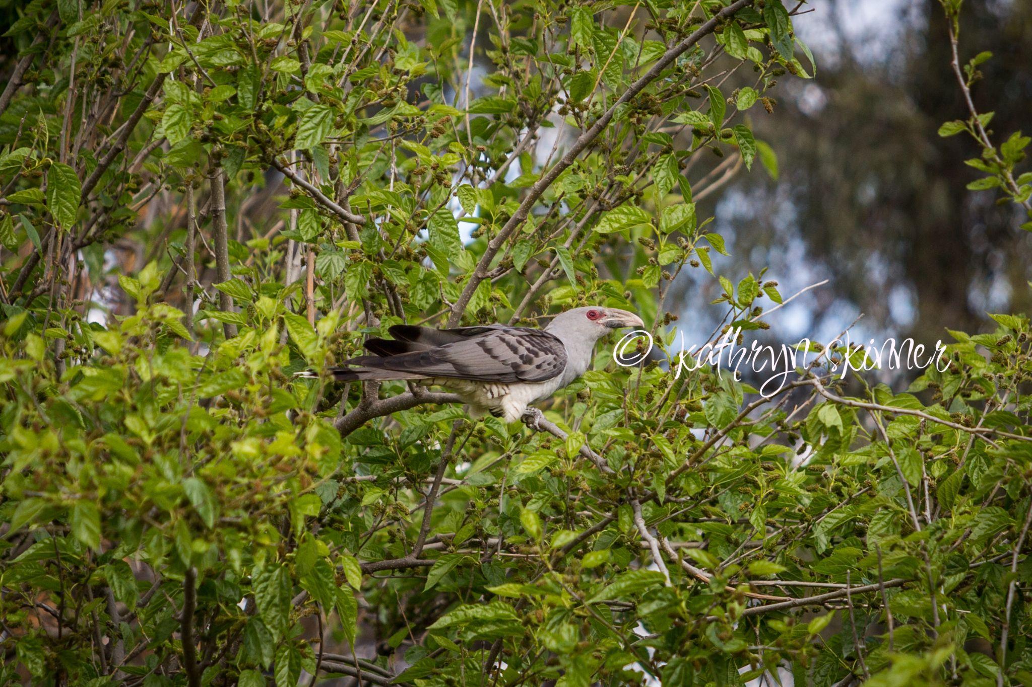 Channel Billed Cuckoo by skinnerkat86