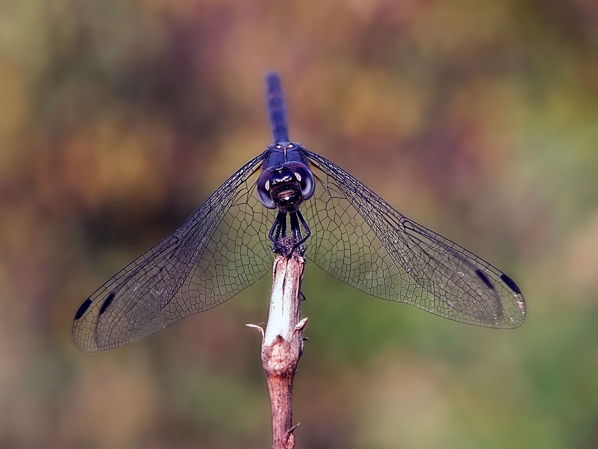 Black Dragonfly  by kayhan.ozcicek