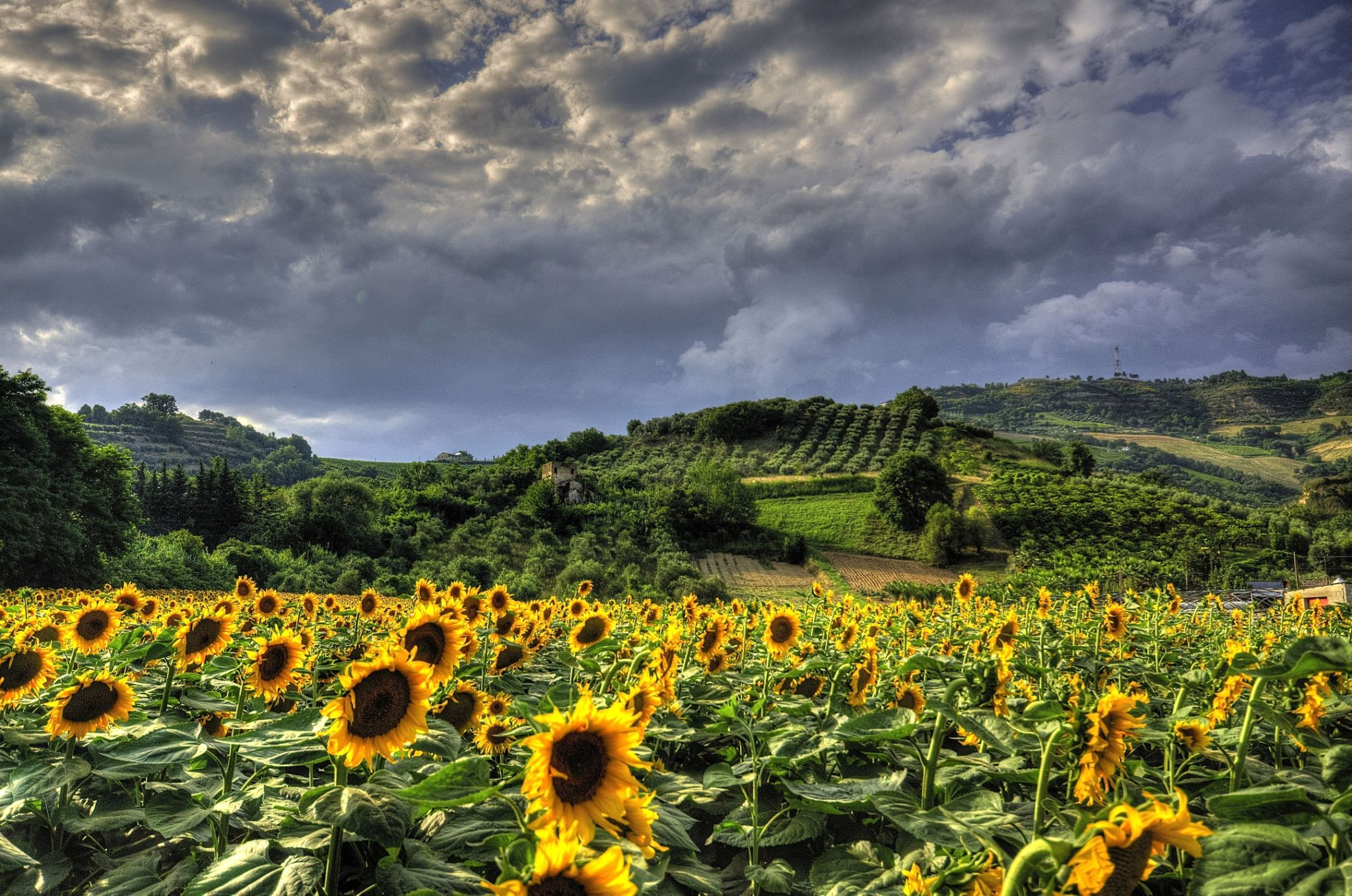 sunflowers by peppeedicola.palestini