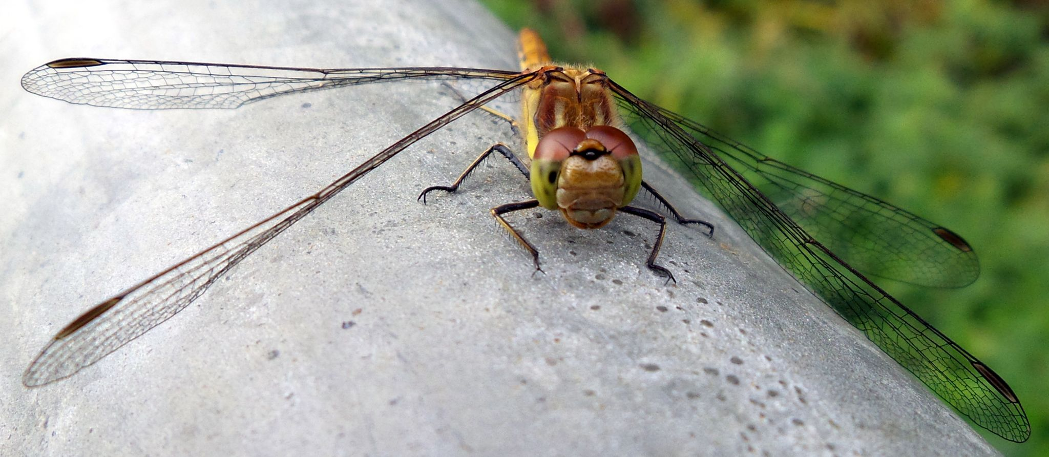 Dragonfly by Tracy Carr-Harding