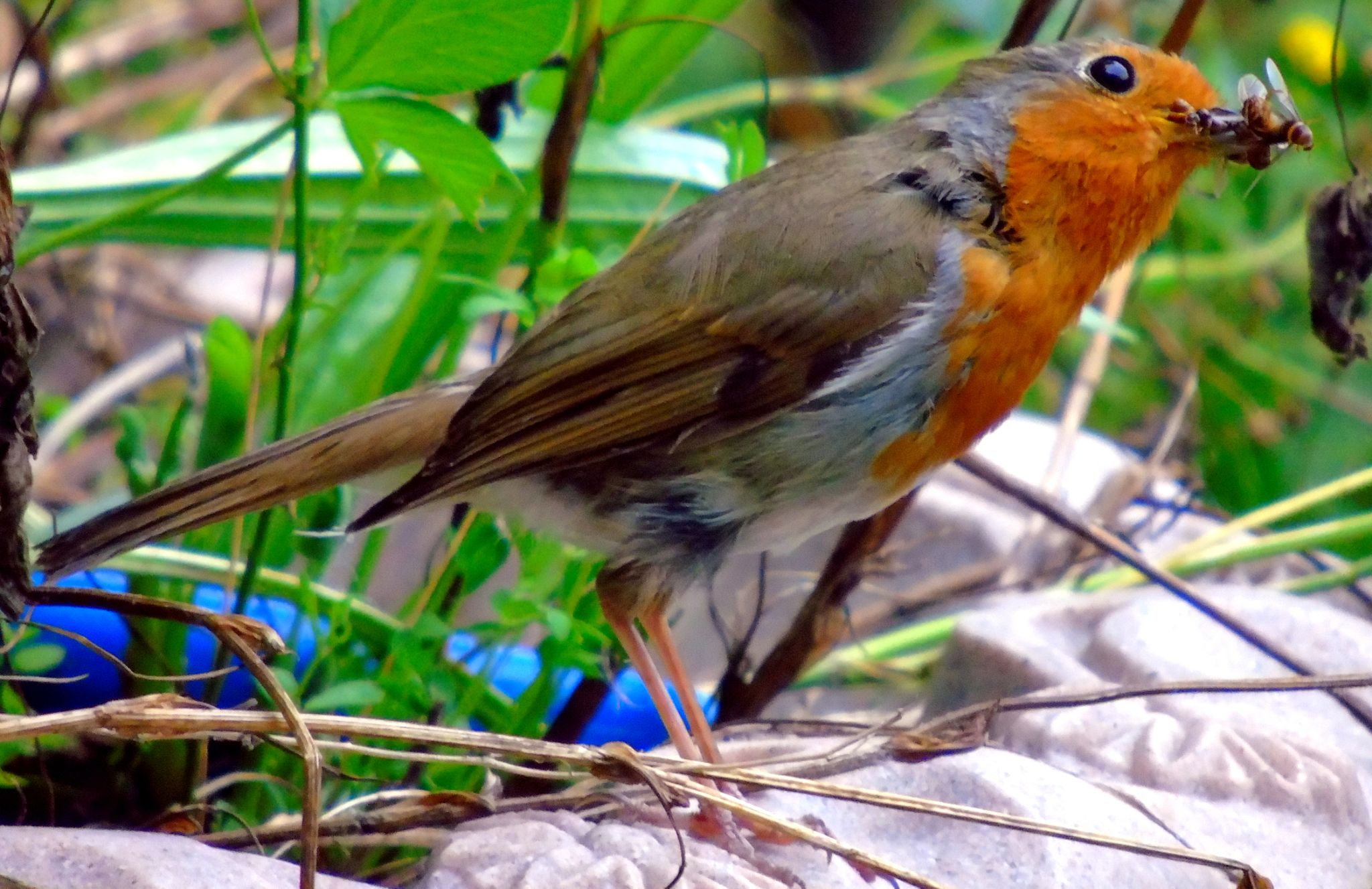 Robin by mgoyder1