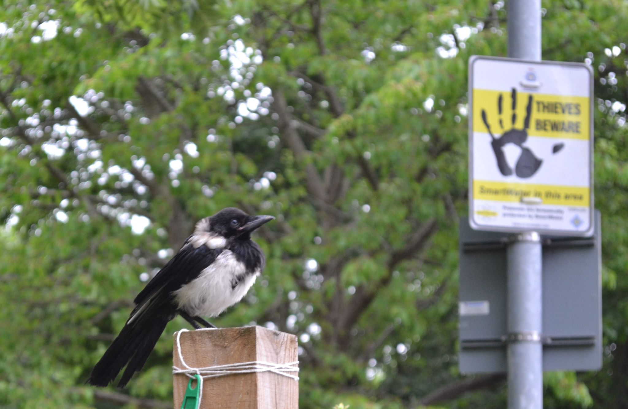 The Theiving Magpie by mgoyder1