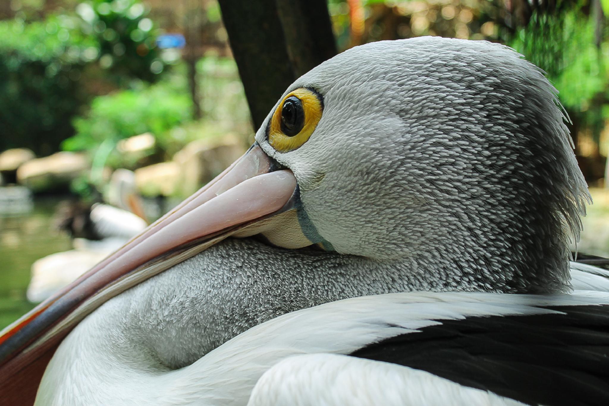 bird pelikan by erje61