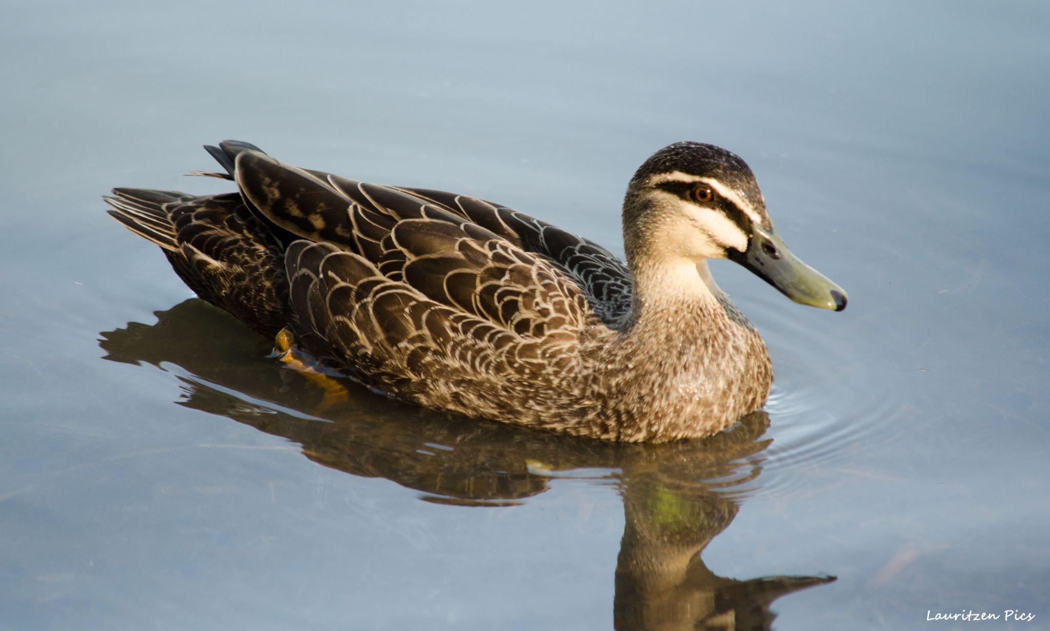 Pacific Black Duck... by LauritzenPics