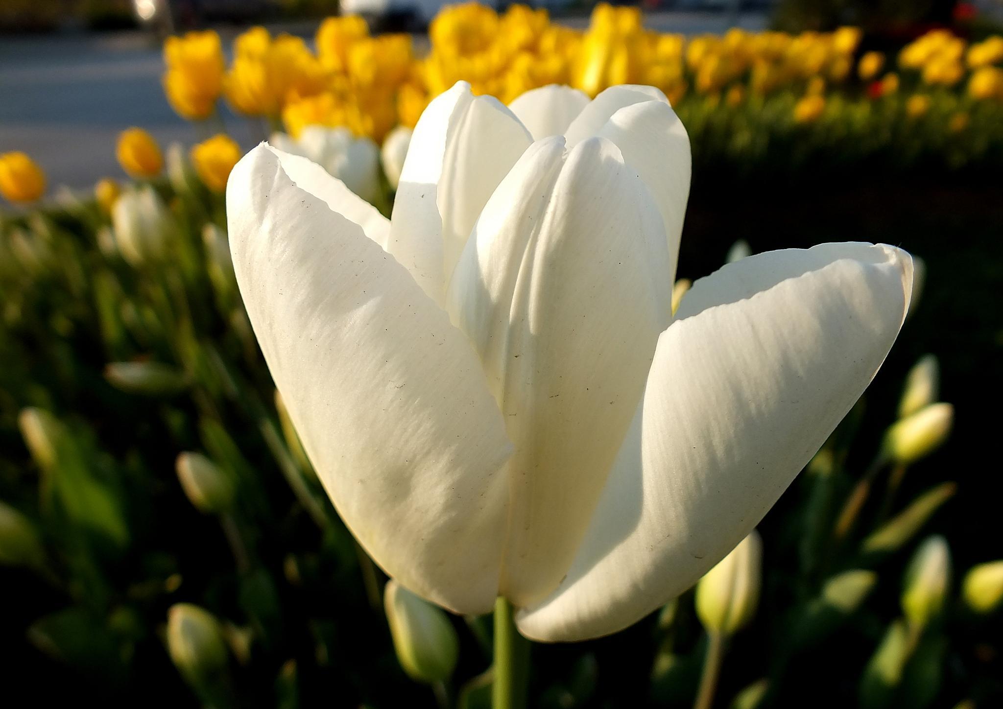 WHITE TULIP (BEYAZ LALE) by nedim alkan