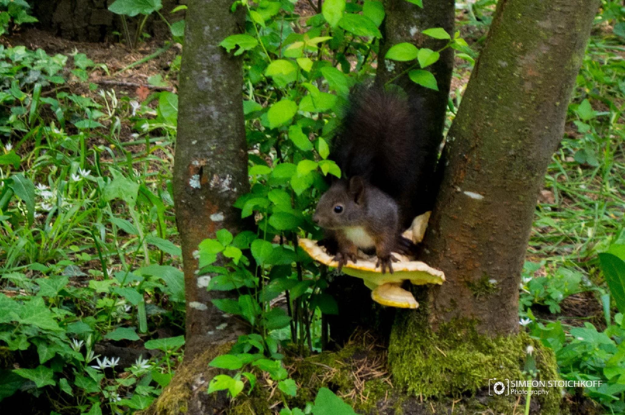 Fluffy Squirrel  by Simeon Stoichkov