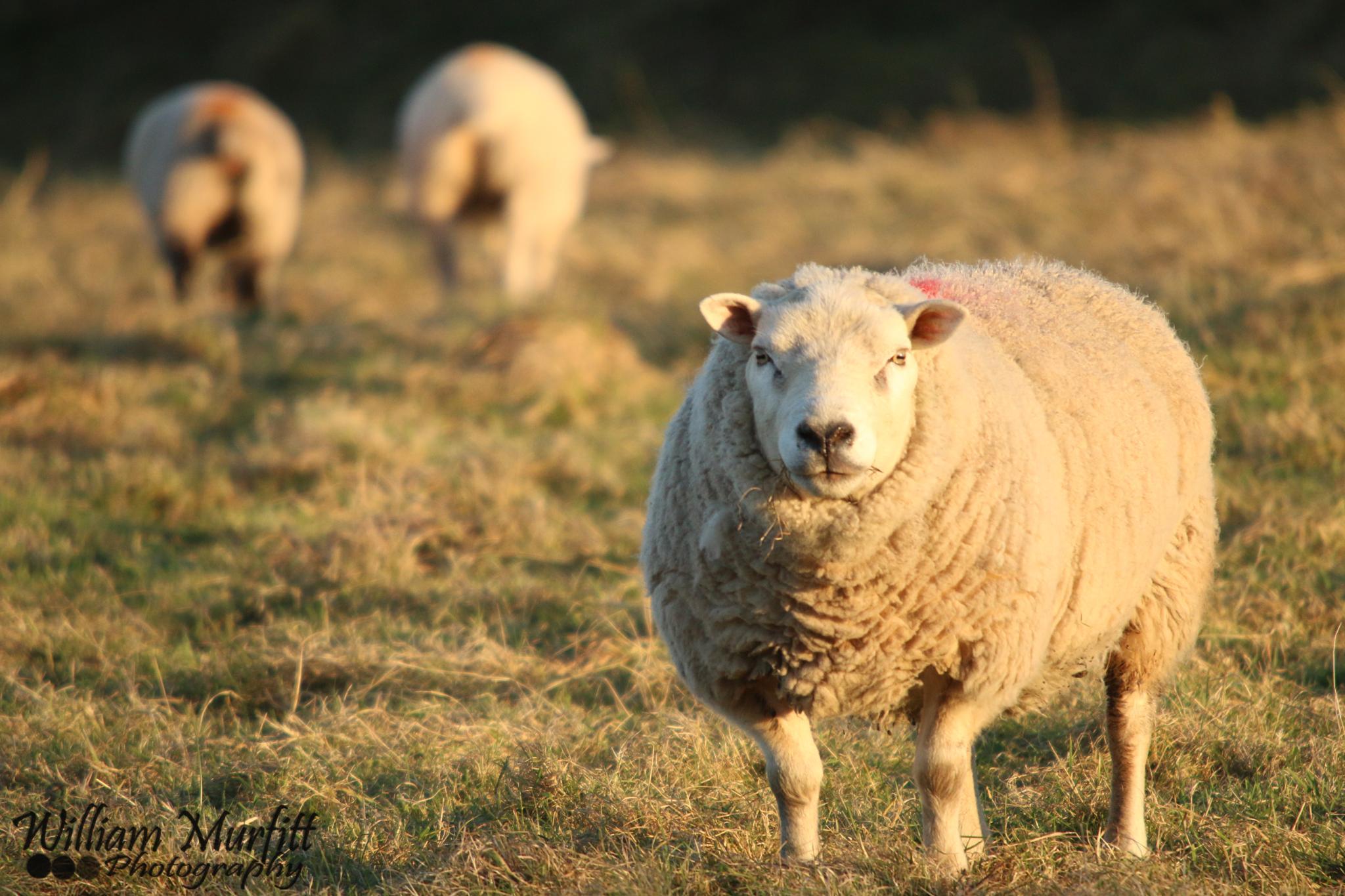 Sunset Sheep by william.murfitt