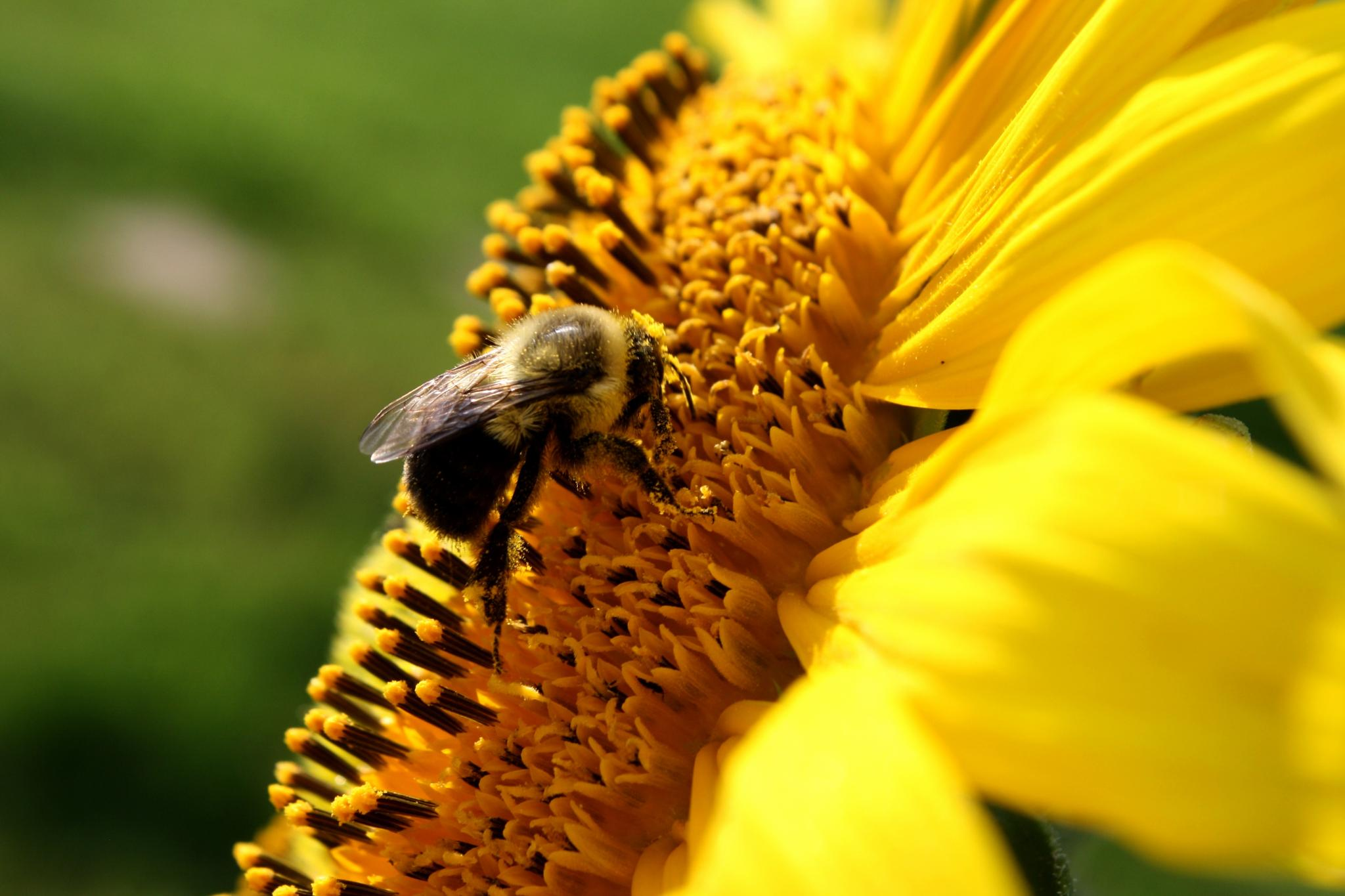 Photo in Nature #sun flower #bee #'bumble bee #yellow #seeds