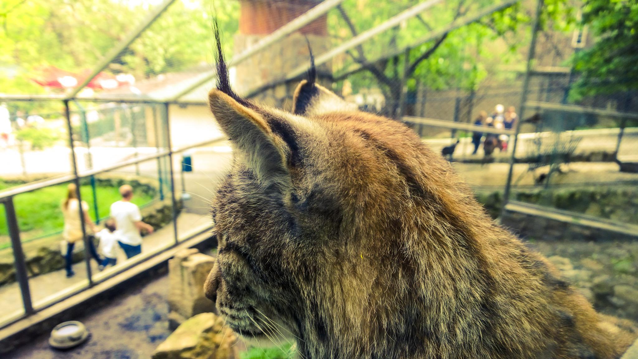 Photo in Animal #lynx #zoo #belgrade #belgrade zoo #serbia #srbija