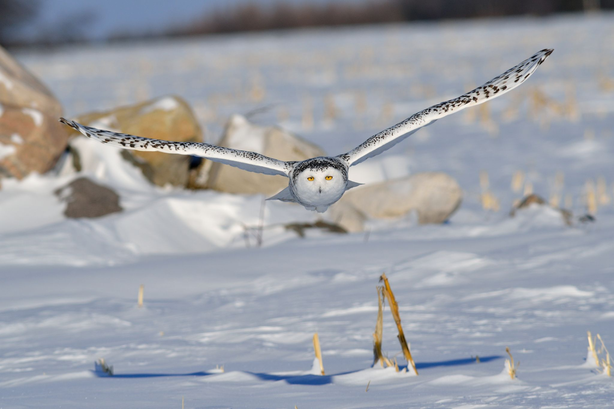 Snowy owl by dominic.roy.395