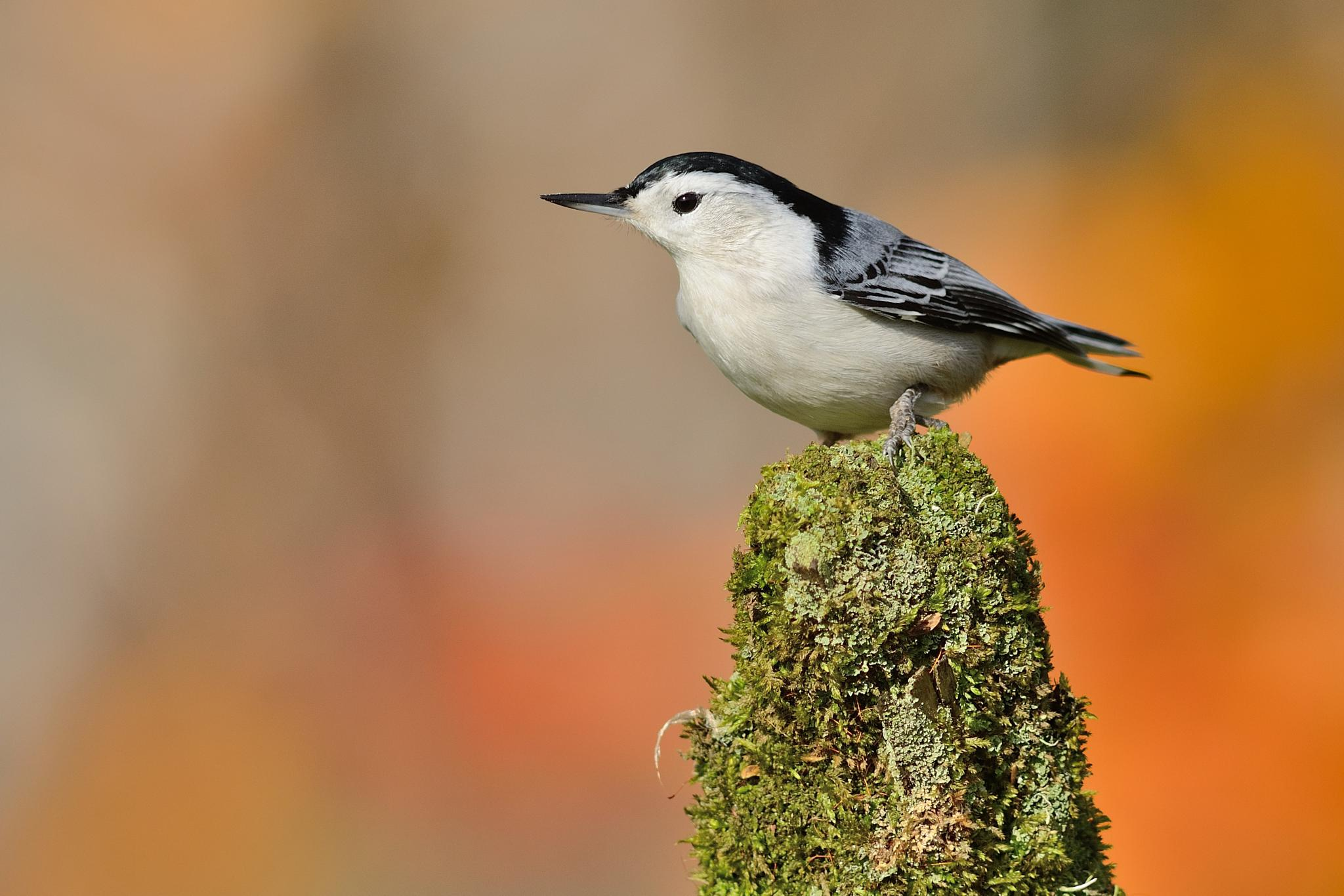 White-breasted nuthatch by dominic.roy.395