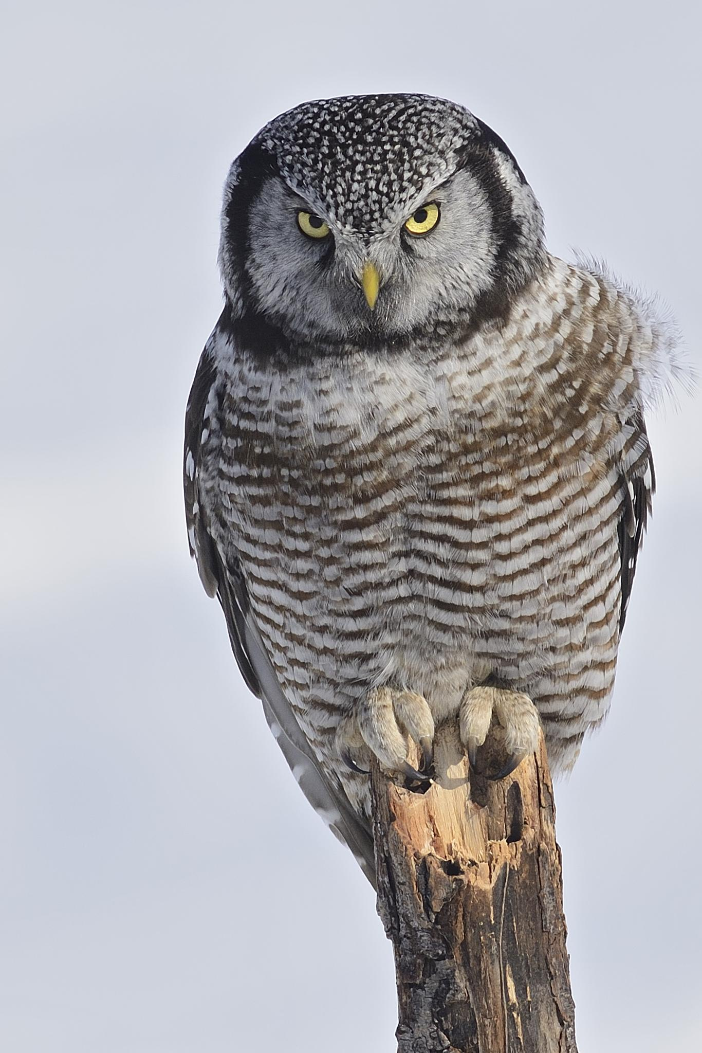 Northern hawk owl by dominic.roy.395