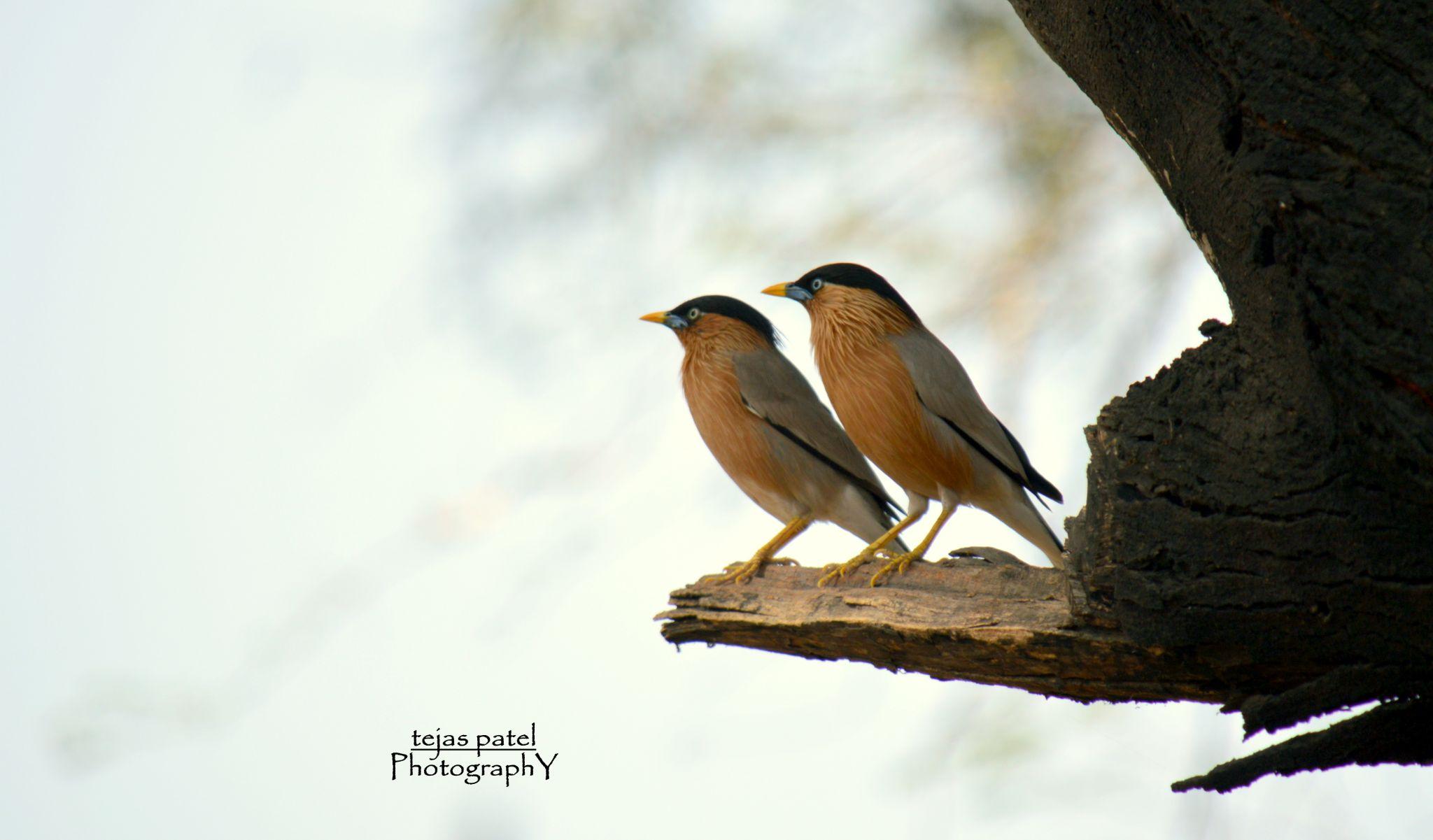 Brahminy Starling by tejas.patel.9235199
